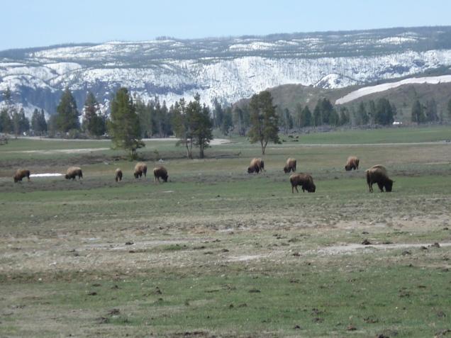 Búfalos na estrada