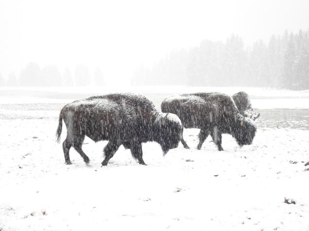 Búfalos na neve